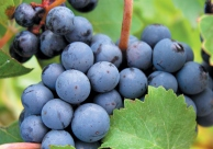 Wijndruif Cabernet Franc